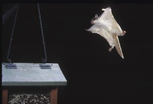 Flying Squirrel in flight to bird feeder.